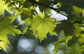 Rupsen die eten van de bladeren van de esdoorn