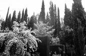 Hoe invasieve zijn de wortels van een Italiaanse Cypress