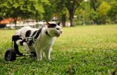 Hoe om te gaan met een verlamde kat