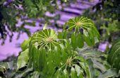 Hoe de zorg voor een paraplu-boom