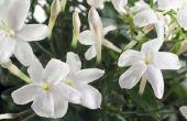 Hoe te onderhouden kamerplanten jasmijn