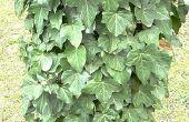 Huis remedie voor doden Poison Ivy planten