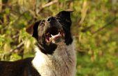 Het gebruik van Baking Soda voor hond tandpasta