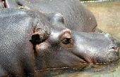 Hoe herken ik een man van een vrouwelijke nijlpaard