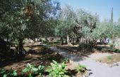 Tips over vruchteloos olijfbomen met bruine bladeren