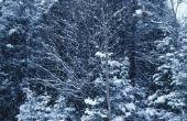 Hoe snel groeit het witte Fir-Tree in een jaar?