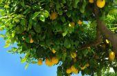 Wat planten kan worden gebruikt als een metgezel voor een Lemon Tree?