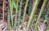 Hoe te planten van bamboe stekken