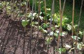 Hoe te doorweken Bean zaden voor het planten