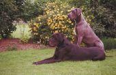 Is de bonte lint gras giftig voor honden?