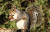 Hoe herken ik de leeftijd van een Baby-eekhoorn met behulp van foto 's