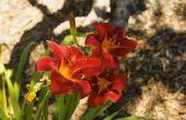 Houdt de dag Lily Prairie wildvuur zon of schaduw?