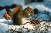 Hoe te voeden wilde eekhoorns