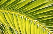 How to Grow koning Palms
