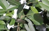 Bladeren op een Ficus Benjamina curling