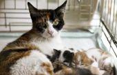 Hoe de zorg voor een zwangere kat