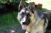 Hoe te stoppen met diarree in een grote hond