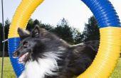 Het verbeteren van de ruimtelijke bewustzijn in een hond voor Agility