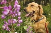 Verduisterde schilferige Patches van de huid & haaruitval op honden