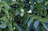 Groeitempo op jaarbasis van Walnut Trees