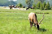 Wat eet Buffalo gras?