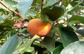 Hoe enten Persimmon bomen