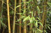 How to Grow bamboe in de woestijn