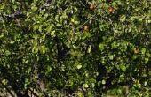 How to Grow Kieffer Pear bomen