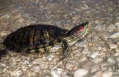 Hoe schildpadden groeien & Live