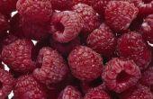 Oogsttijd voor rode frambozen in Oregon