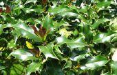 Hoe zijn diagnosticeren Holly Bush Disease in bodem toen er bruine bladeren