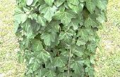 Hoe te identificeren van Poison Ivy