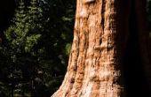 Soorten van groenblijvende bomen in de Pacific Northwest