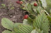Mieren & aardbeiplanten