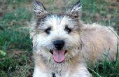 Proteus bacteriën infectie bij honden