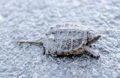 Het behouden van een magnetisch Turtle Shell