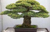 How to Grow Bonsai-planten
