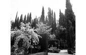 Juiste afstand tussen Italiaanse cipres bomen
