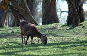 Hoe Dye een hert verbergen