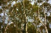 Mijn Birch Tree heeft bruine bladeren