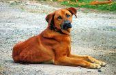 Meest voorkomende genetische ziekten bij honden