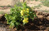 Hoe Plant een boom of struik vanuit een Container