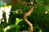 De bladeren van mijn Bonsai boom zijn eraf