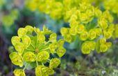 Euphorbia Rigida of Gopher planten