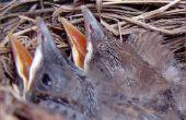 Hoe te voeden van de Baby vogels kattenvoer