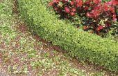 Hoe te drogen Buxus stekken voor gebruik binnenshuis