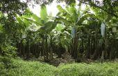 De nadelen van een commerciële plantage