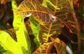 Kamerplanten met bonte bladeren