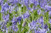 Lavendel olie kan dodelijk zijn parasieten?