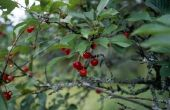 Hoe te herkennen van eetbare bessen bomen in Pennsylvania